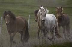 Raising dust (LuzKreativa) Tags: horses animals iceland run cavalli animale islanda correre beaties galop galoppare