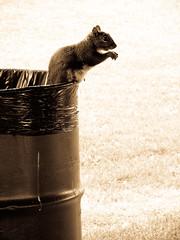 garbage squirrel