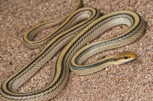 Patchnose Snakes, Western Patchnose Snake