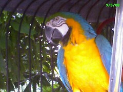 Gold Wing parrot at Jerry's