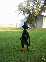 Jump! (C. Redhead) Tags: dog black goofy puppy mutt mix lab pointer german trinity