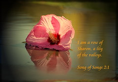 I Am a Rose of Sharon... (honey 77) Tags: pink flower reflection nature water beautiful outdoors god jesus lord christian hibiscus roseofsharon inspirational soe scriptures lilyofthevalley bibleverse songofsongs nikond40 inspiks|inspirationalpictures