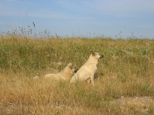 Matera-mountaindogs