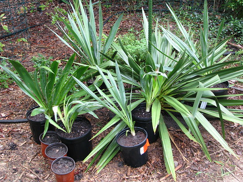 Baby yucca repotted