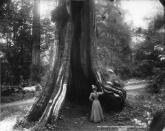 Great cedar tree, Stanley Park, Vancouver, BC, 1897 (Muse McCord Museum) Tags: world street new trees horses horse woman canada tree hat fashion lady vancouver forest rboles carriage dress cedar trunk stanleypark hollowtree amaze 1897 hugetree cedro mccordmuseum giantcedar notman musemccord drivinghorses giantcedartree commons:event=commonground2009
