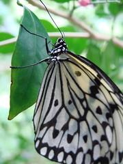 Dsc06488 (boneykingofnowhere) Tags: butterfly zoo sonydsch5