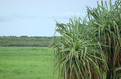 pandanus in wetlands with tiny crimson finches (goatsfoot) Tags: crimson nt dam australia finch wetlands fogg pandanus neochmiaphaeton
