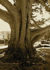 haunted cypress, Lara-Soto Adobe
