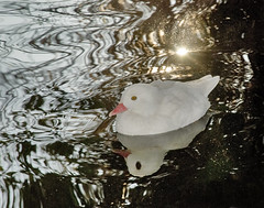 Shine on me (Ben124.) Tags: winter sun white cold water gold duck pond sunreflection whiteduck pfogold alittlebeauty