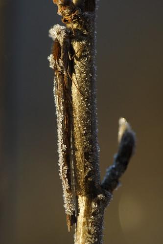 Sympecma fusca, hibernating