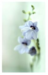 Anomatheca laxa blue (steffi's) Tags: blue winter flower macro natur blau januar iridaceae seedexchange srgc anomathecalaxasuspazurea freesialaxasubspazurea lapeirousiacruenta anomatheca anomathecalaxablue アノマテカ ラクサ scottishrockgardenclub srgcseedexchange