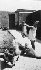 Cats' food didn't come out of a can and it was nothing but the best fish - Pt Perpendicular, c 1936 / by Mrs Tulk (State Library of New South Wales collection) Tags: portrait food pet cats pets fish girl grass animal cat 1936 mammal three 1930s kid furry feline child comida australia humour catfood niña sidewalk gato nsw newsouthwales hungry criança curious dailylife temptation mammals snapper deadfish kittys fome jervisbay rawfish кошки schnapper юмор statelibraryofnewsouthwales concretepath ptperpendicular años30 pointperpendicularlighthousejervisbaynsw faytulk кошачийкорм