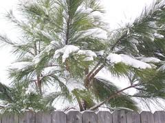 Afternoon Snow 01/20/09 (cpt_comet) Tags: trees winter snow cold tree snowdays winterweather fayobserver fayobserversnow snow2009