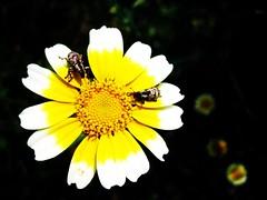 Shine!! (MelindaChan ^..^) Tags: plant flower macro closeup bug insect dof guilin bugs mel melinda 漓江 supermacro lijiang guangxi 桂林 廣西 chanmelmel melindachan