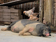 Symbiosis (akimowitsch) Tags: chicken animal pig dorf village fat vietnam schwein sapa tier hhner fett