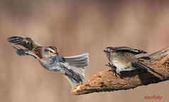 Canon 5D Mark II (tinyfishy (Gone to Cuba)) Tags: ontario tree bird flying inflight sparrow whitby americantreesparrow hallsroad