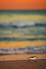 Life in twenty-first century (Lazyousuf) Tags: sunset bird beach canon florida miami south 85mm l f12 50d explore4 canonef85mmf12liiusm