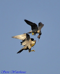 PEREGRINE FALCONS PASSING FOOD #5 (spw6156) Tags: copyright food lens for hand steve iso just 400 cropped passing mm 500 held 18 nationaltrust falcons raptors waterhouse peregrine plymbridge interrest cannquarry spw6156 stevewaterhouse plymperegrineproject plymbridgeperegrinefalcons copyrightstevewaterhouse