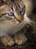 Soraya (juanrfa) Tags: cat gato impressedbeauty platinumheartaward flickrlovers 100commentgroup mwqio expressyourselfaward
