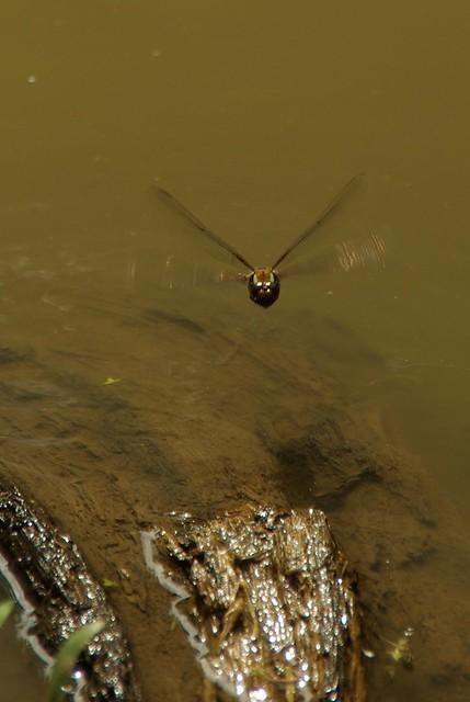 Dragonfly on Drinking Flight