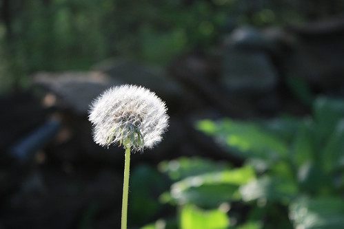 More Dandelion by kayaker1204