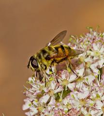 _MG_0402 Hover Fly (Myathropa florae), Brandon Marsh, Warwickshire 24May11 (Lathers) Tags: fly brandon warwickshire hover florae nbw myathropa canonef300mmf4lisusm brandonmarsh canon7d wildinthemidlands 24may11