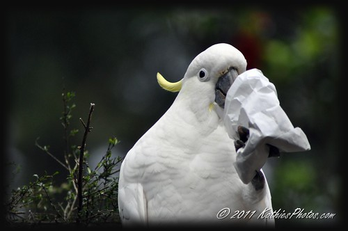 White Cockatoo, Grant's Picnic Ground