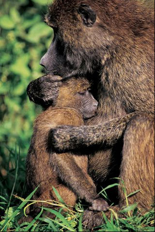 Baboon Mother & Child.jpg