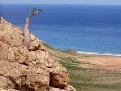 A Socotra Bottle Tree (Adenium obesum socotranum) growing on a cliff overlooking the Indian Ocean (twiga_swala) Tags: ocean tree bottle flora indian yemen endemic adenium socotra obesum socotranum