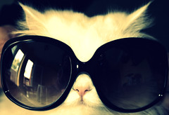 She's so cool (No time for goodbye) Tags: cats sol sunglasses de stars cool flickr gato disaster estrellas gafas miss guay particolarmente fcats misssensitive