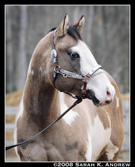 OH Justin Time: Silver Grullo Overo Paint Stallion (Rock and Racehorses) Tags: justin paint colt stallion grullo overo silvergrullo ultimatehorselover