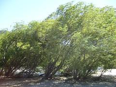 El Bolson - Lago Puelo - arbres