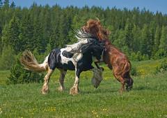 Tinker 3 (Lotta Adehed) Tags: horse animal rock place you 1st sweden sverige lotta dalarna stallion tinker djur häst galope bigmomma hingst leksand böle youvsthebest empyreananimals theunforgettablepictures hingstsläpp flickrestrellas horsesrule quarzoespecial adehed lottaadehed stallionfight thepinnaclehof