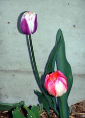 Tulips_51308b