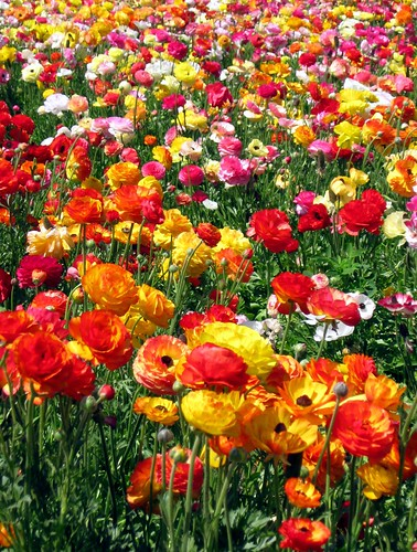 Ranunculus flower Fields of Carlsbad , California