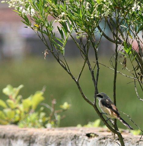 long-tailed shrike in bushes kodai 230508