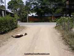 Sleeping Horse In Samara, Costa Rica (CostaRicaTravelRevealed.com) Tags: horse beach seaside costarica pony samara foal vacationspot