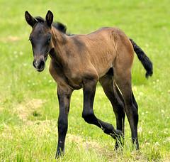 Two week old future jumper (blax_r) Tags: horses equestrian blueribbonwinner southwesternontario nikonafsvr70200mmf28gifed warwickequestriancenter
