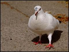 Let's dance (Kirsten M Lentoft) Tags: white bird dove hugs soe pidgeon naturesfinest featheryfriday youmademyday anawesomeshot momse2600 mmmmmmmmuaahhhhhhhhh kirstenmlentoft