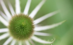 Verdant Radiance (Ian Hayhurst) Tags: dof teasel shallow canonef100mmf28macrousm platinumphoto herbiseed