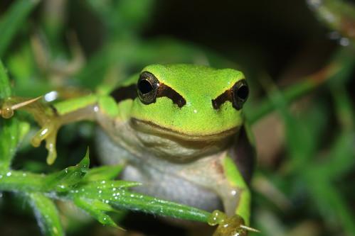 [フリー画像] 動物, 両生類, カエル, グリーン, 200807071300