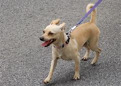 ohio dog walking parade delaware paws collar 4thofjuly