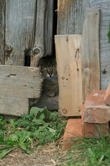 Just seeing what you are doing (Sharon's Shotz) Tags: barn cat boards feline watching oldbarn barnboard tabbytabbycat mygranddaughterthoughtitwashercatbeans