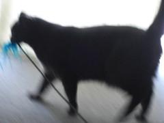 Loki and sometimes freya playing with a feathered toy (jon_a_ross) Tags: cats playing cat hunting loki dsh graycat greycat feathertoy domesticshorthair feathersonastick