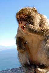 Rock Ape (Lauren Leigh) Tags: teeth monkeys fangs naturelovers barbarymacaque peachpit rockape gibraltarrockmediterraneanlandscape