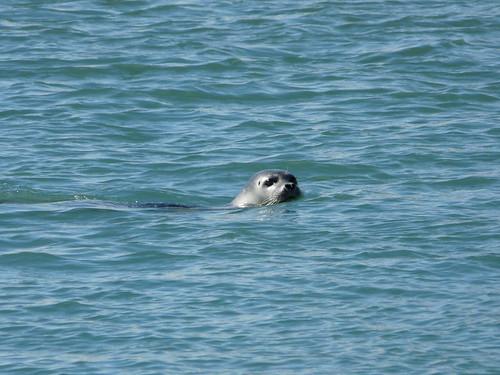 foca pujant riu amunt cap el Jökulsárlón
