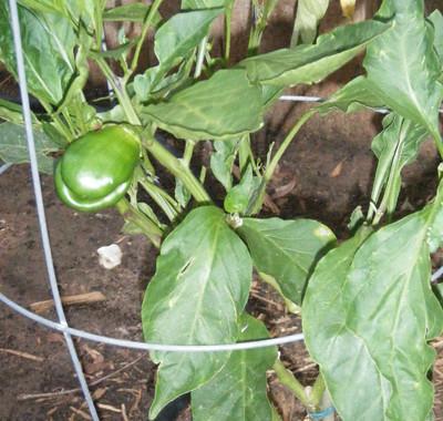 Bell Pepper Plant