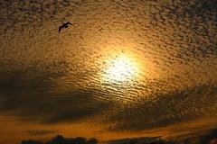 Flying under fire (~~TonyC~~) Tags: sky cloud bird nature animal silhouette clouds canon skyscape landscape evening wildlife canonef2470mmf28lusm cloudscape 2470l markham blueribbonwinner golddragon damniwishidtakenthat
