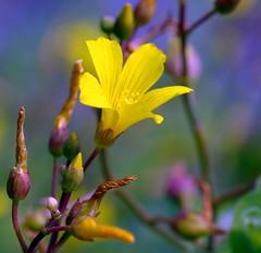 Hypericum elodes (Marsh St John's-wort) (Luciën Reyns) Tags: flowers netherlands yellow nederland geel zeeuwsvlaanderen hulst pentaxk10d marshstjohnswort hypericumelodes lucienreyns moerashertshooi lreyns