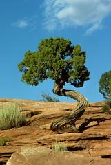 Dead Horse Point State Park, UT (twm1340) Tags: park tree wonder utah ut state scenic explore national deadhorsepoint canyonlands moab np juniper naturewatcher